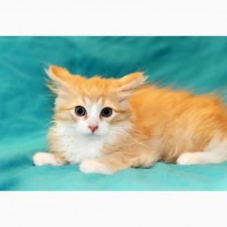 Пушистое чудо, котенок по имени Пухлик в дар