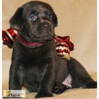 Лабрадор - очаровательные щенки-шоколадки