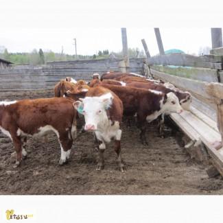 Казахские белоголовые бычки