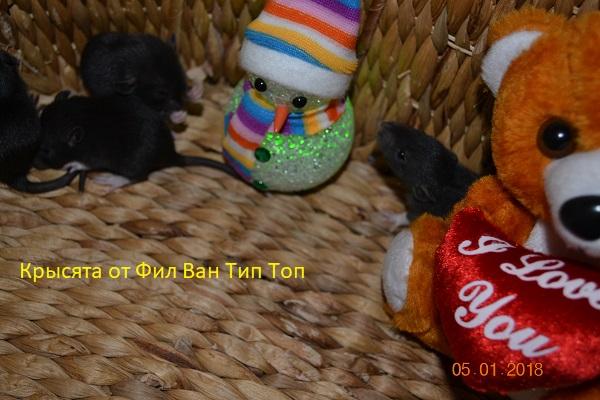 Фото 1/4. Крысята черного окраса