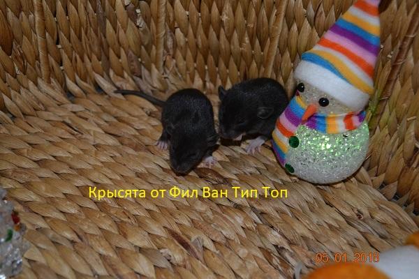 Фото 2/4. Крысята черного окраса