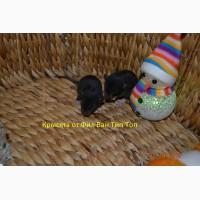 Крысята черного окраса