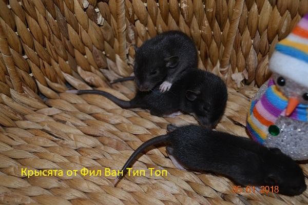 Фото 3/4. Крысята черного окраса
