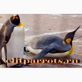 Пингвины из питомников Европы