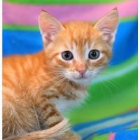 Рыжий солнечный котенок Леденец в дар