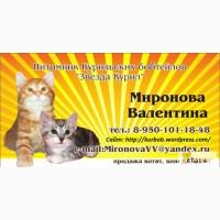 Котята Курильского бобтейла в Иркутске