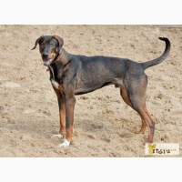 Статный молодой пес Бергер, близкий метис добермана в добрые руки