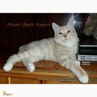 Очень красивый котенок - котик Курильского бобтейла ШОУ - класса с восхитительной шубкой