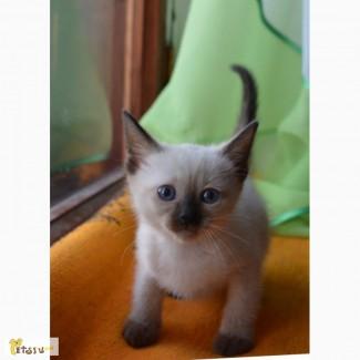 Срочно продажа тайских, красивых, клубных котят