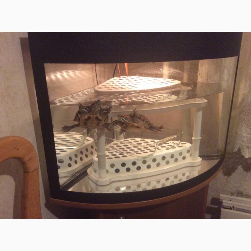 Фото 2/2. Две чудесные красноухие черепахи