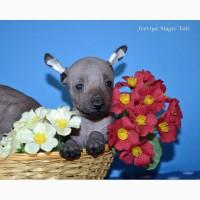 Шикарные щенки мини мексиканской голой собаки