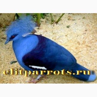 Венценосный голубь из питомников европы