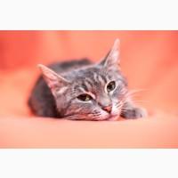 Серебристо – мраморная кошка ищет дом