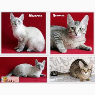 Очень красивые котята, метисы сиамской кошки, бесплатно, в добрые руки