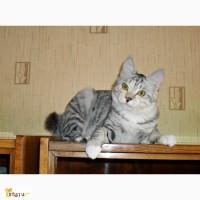 Красивый котенок - кошечка Курильского бобтейла с прекрасными породными данными