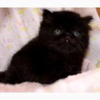 Персидский чёрный котик