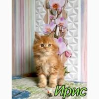 Мейн-Кун девочка рыжего окраса