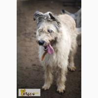 Добрая и общительная собака Мальта, метис бриара