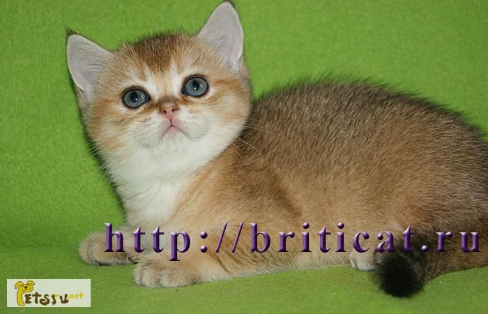 Фото 1/2. Британские золотистые котята