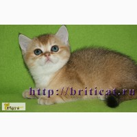 Британские золотистые котята