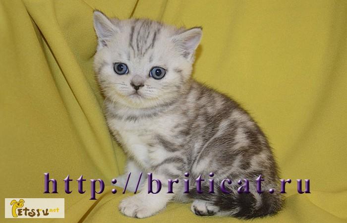 Фото 2/2. Британские золотистые котята