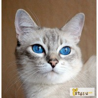 Тайского котёнка в Ульяновске