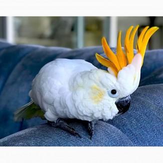 Какаду оранжевохохлый (Cacatua s. citrinocristata) - ручные птенцы