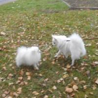 Вязка- щенки