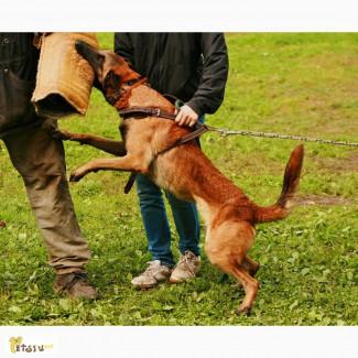 Предлагаем щенков малинуа для ценителей красоты и качества питомник от Сольника