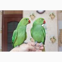 Ожереловый попугай ручной птенец выкормыш самец 3 месяца