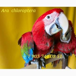 Зеленокрылый ара - ручные птенцы из питомников Европы