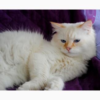 Сибирский клубный котик уникального окраса