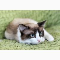 Котенок Рафаэль скромный тихоня в дар
