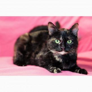 Метис британки котенок Шанель в дар