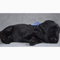 Ризеншнауцера щенки черные