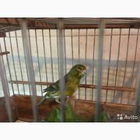 Зеленый певчий самец Канарейки Овсяночного Напева