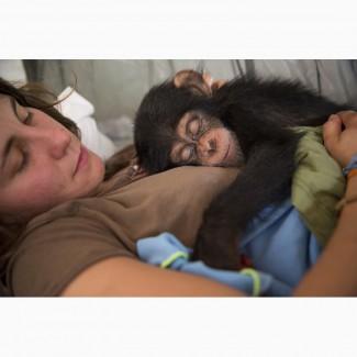 Опекунство над приматами, детёнышами обезьян