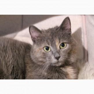 Кошка Дениз - голубокремовое чудо в дар