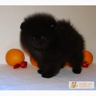 Шпиц померанский щенок медвежонок