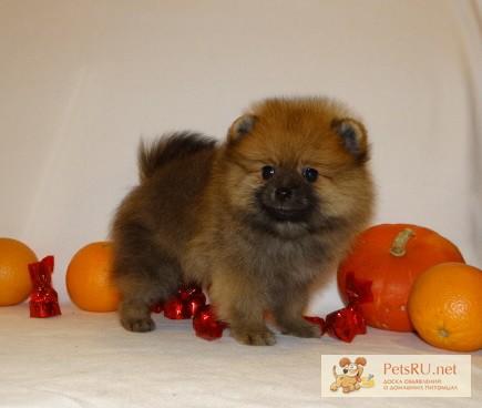 Фото 2/6. Шпиц померанский щенок медвежонок