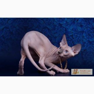 Котёнок сфинкс - маленький талисман. в Екатеринбурге