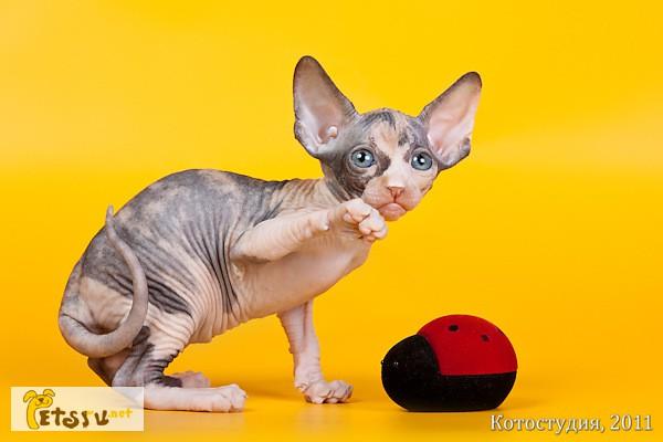 Фото 2/4. Котёнок сфинкс - маленький талисман. в Екатеринбурге