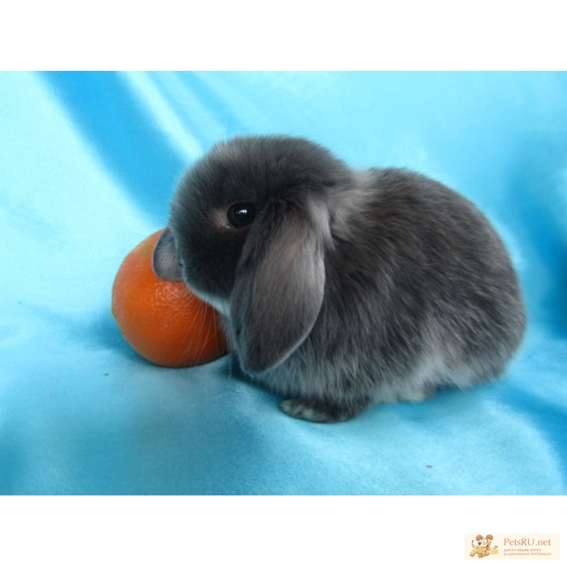Фото 1/9. Купите декоративного карликового кролика в питомнике Зайкина усадьба в Москве