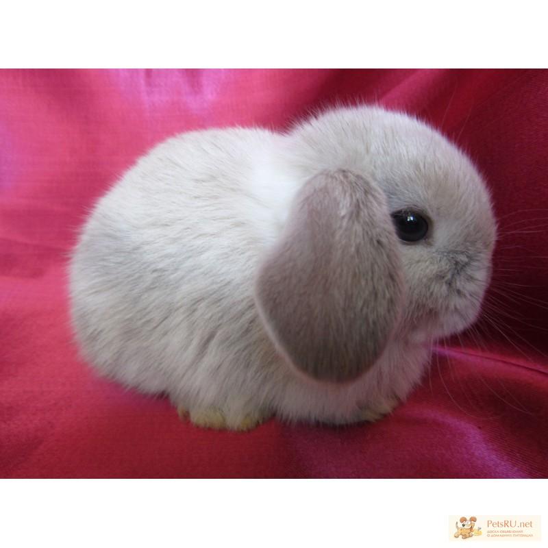 Фото 3/9. Купите декоративного карликового кролика в питомнике Зайкина усадьба в Москве