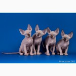 Котята Эльф, бамбино, Двэльф, канадский сфинкс для международной племенной работы