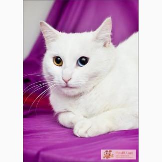 Кошка белая Бланка ван Кедиси – ласковая разноглазка в дар