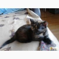 Котёнок бирманской кошки в Ижевске