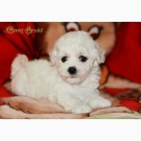 Бишон Фризе - белоснежные щенки от Чемпионов