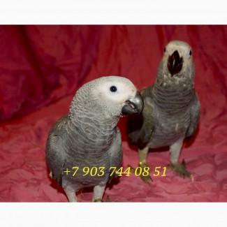 Жако - ручные птенцы из питомников Европы