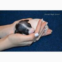 Шикарные щеночки американского голого терьера